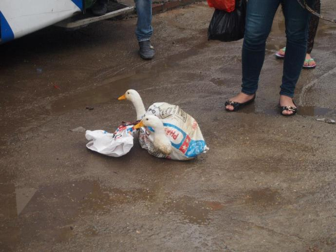 wrapped up ducks